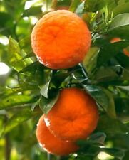 "TANGERINE FRUIT TREE REAL LIVE PLANT CITRUS 3""6""SEEDLING MANDARIN SATSUMA ORANGE"