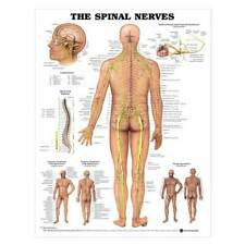 Open Box The Spinal Nerves Anatomical Chart-Laminated