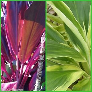 10x Organic Cordyline plant log cutting 5x RED WING + 5x TROPICAL FROST wax seal
