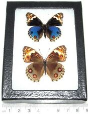 Junonia orithya pair male female Real Framed Butterfly Japanese Blue Buckeye