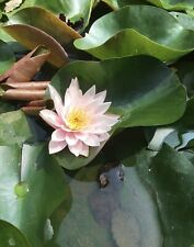 6� Water Lily Hardy Lilies Rhizome Root Aquatics assorted Red, White, Pink