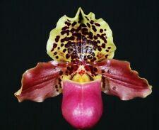 Paphiopedilum henryanum Orchid Species Slipper,Blooming size