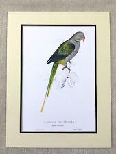Antique Parrot Print Pigeon Parakeet Blue Winged Parrots Edward Lear Painting
