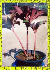 "New listing 2 Big Fresh Bulb ""Amorphophallus Atroviridis"" Beautiful Purple Leave +Free Phyto"