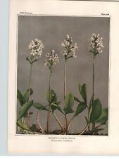 1934 Wildflower Book Plate  Buckbean Spreading Dogbane Love Vine