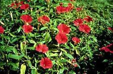 FLOWER MORNING GLORY IPOMOEA SCARLET O'HARA 220 SEEDS