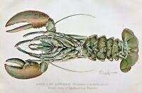 1899 RARE Antique DENTON PRINT - Female AMERICAN LOBSTER Homarus americanus L@@K