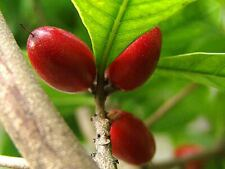 Miracle Fruit Plant Rare Tropical Fruit Synsepalum dulcificum (Tree) Seedling