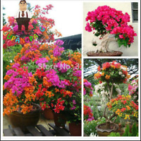 100 PCs Colorful Bougainville Seeds Balcony Flower Pot Flowers Garden Seeds New