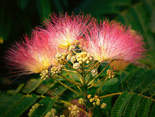 "Mimosa Tree - Albizia julibrissin - Pink - Stater Plant 4"" Pot"