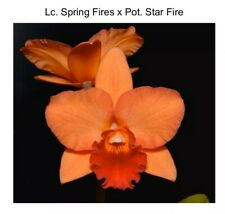 Lc Spring Fires 'Lenette #3' X Potinara Star Fire 'New Year's' 4 Inch (12) 6999