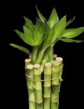 5 Stalks of 18 Inches  Lucky Bamboo