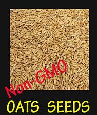10 Lb. OAT seed - Fresh Seed - Deer Turkey Food Plot - Wildlife Food    Non-GMO