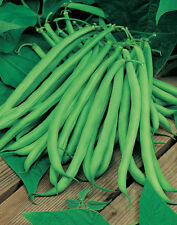 600 Seeds of Bean Green Early Row Lake Blue / Delicious and Very Soft