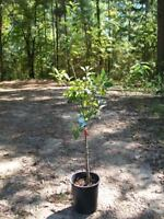 4-6 FT live Anna Apple Fruit Tree Plant Live Trees Tasty Juicy Fresh Apples Home
