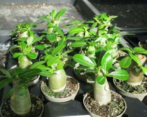 ADENIUM OBESUM - stunning caudex forming plant !