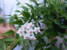 Hoya Bella wax plant 2 inch pot