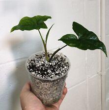 "Actaea pachypoda /""FOGLIA D/'ARGENTO/"" 1 x ombra perenne IN VASO 9cm"