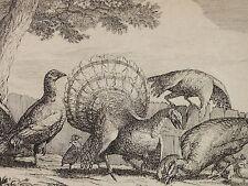 Francis BARLOW (1626-1702) - Kupferstich: TRUTHAHN / TRUTHÄHNE MIT JUNGEN