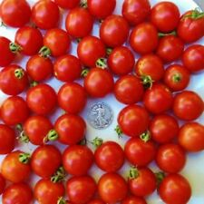 Tommy Toe - Organic Heirloom Tomato Seed - Sweet and Delicious Cherry - 40 Seeds