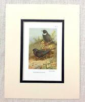 Vintage Uccello Stampa Blackbird Anello Ouzel Ornitologia Thorburn's Ca. 1929