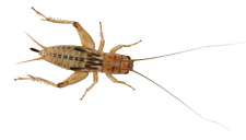 Silent/Brown Live Crickets Small tub x1 Prepack 4-6mm Average 200+ Crickets