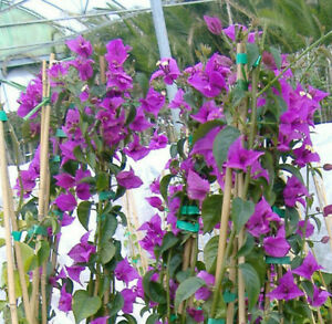 Bougainvillea Glabra,plant rooty cutting