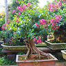 Stunning Crape Myrtle Bonsai Seeds Lagerstroemia  Bonsai Tree 10 Samen NEU~