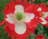 Poppy- Danish Flag/Queens- 500 Seeds