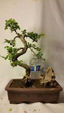 New Chinese Elm Bonsai Tree Clay Pot House Garden Plant