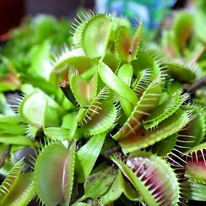 Scarlatine venus flytrap Raptor 70 seeds of Dragon fire,Trev/'s dracula
