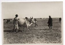 PHOTO ANCIENNE Vaches Vache INDE BRITANNIQUE 1932 Pâturage Colonialisme Fermier