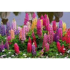 100Pcs Assorted Color Lupine Seeds Russell Lupinus Polyphyllus Garden Flower