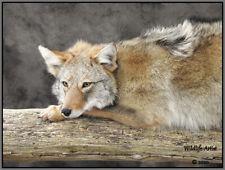 Coyote Taxidermy Mount Bobcat Fox Lynx Hunting Cabin Fur by Wildlife-Artist