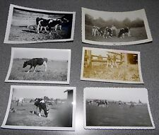 Vintage Black & White Photo Lot Of 6 Cattle Cow Related Images 50's Era #4