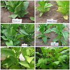 kubanische Tabaksamen Zigarren Zigaretten Tabak Sortenmix 6 kubanische Sorten