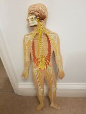 More details for anatomical figure. 80cms tall x 28 cms width and 6 cms deep approximately