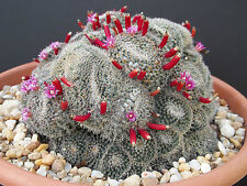 Rare Mammillaria perbella flower cacti pincushion globular cactus seed 15 Seeds