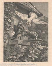 Antique print  pigeons / Columbidae dove pigeon Piccione stampa antica 1860