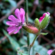 CAMPION- Red Bladder Campion Catchfly (LOVED BY BEES AND BUTTERFLIES) 50 Seeds.