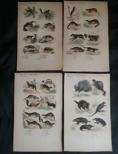 4 Engravings: Hog Epic, Mongoose, Small Grey Siberian, Mink, Pig of Earth
