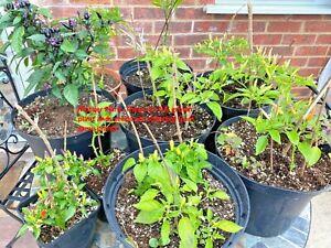 Chilli Plant, Basket  of fire, Naga,  Black, White & green hot chilli plant