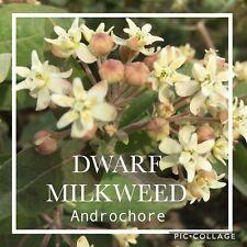 DWARF MILKWEED  (Asclepias ovalifolia) SEEDS