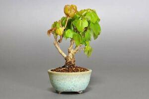 Jac rare plants — acer formosanum 'maruba' dwarf maple seedlings
