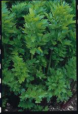 Herb - Lovage - Levisticum Officinale - 100 Seeds