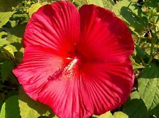 Hibiscus Moscheutos  Red Moon 50 seeds semillas