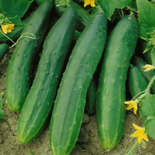 1/4 Lb Straight Eight Cucumber Seeds - Everwilde Farms Mylar Seed Packet