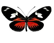 Heliconius doris, Real Doris Red Longwing Amazonian Butterfly