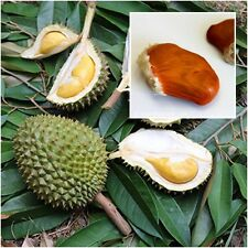 "3 Seeds Durian Tree ""Monthong"" delicious Fruit Plant Topical Fruit From Thailand"