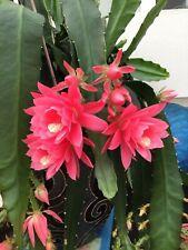 1 Rare cactus EPIPHYLLUM GERMAN EMPRESS   very FLORIFEROUS Rooted plant